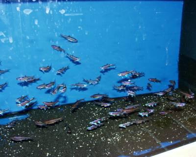 notropis laichfische