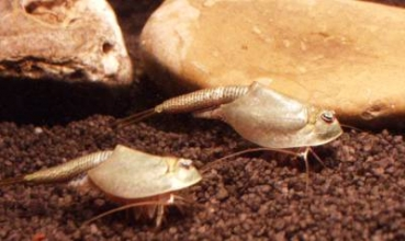 Triops Black Beauty